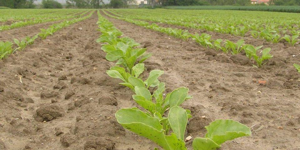 cultivo-remolacha-3-1200x480