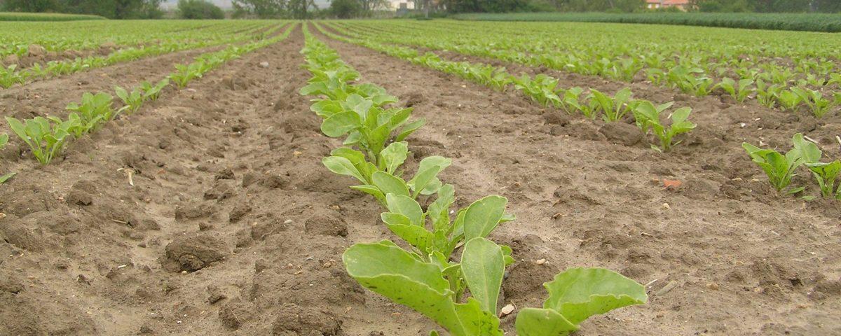 cultivo-remolacha