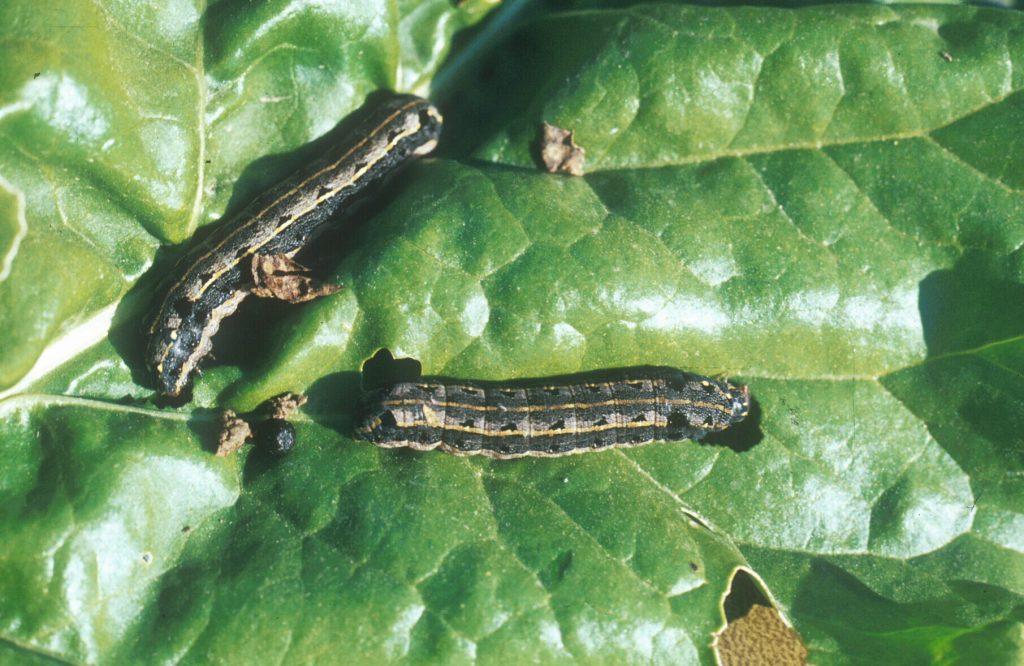 Noctuidos-plaga-remolacha-azucarera-2